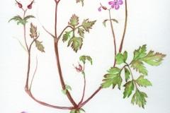 géranium-herbe-à-robert-web
