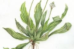 plantin-lancéolé-2-web